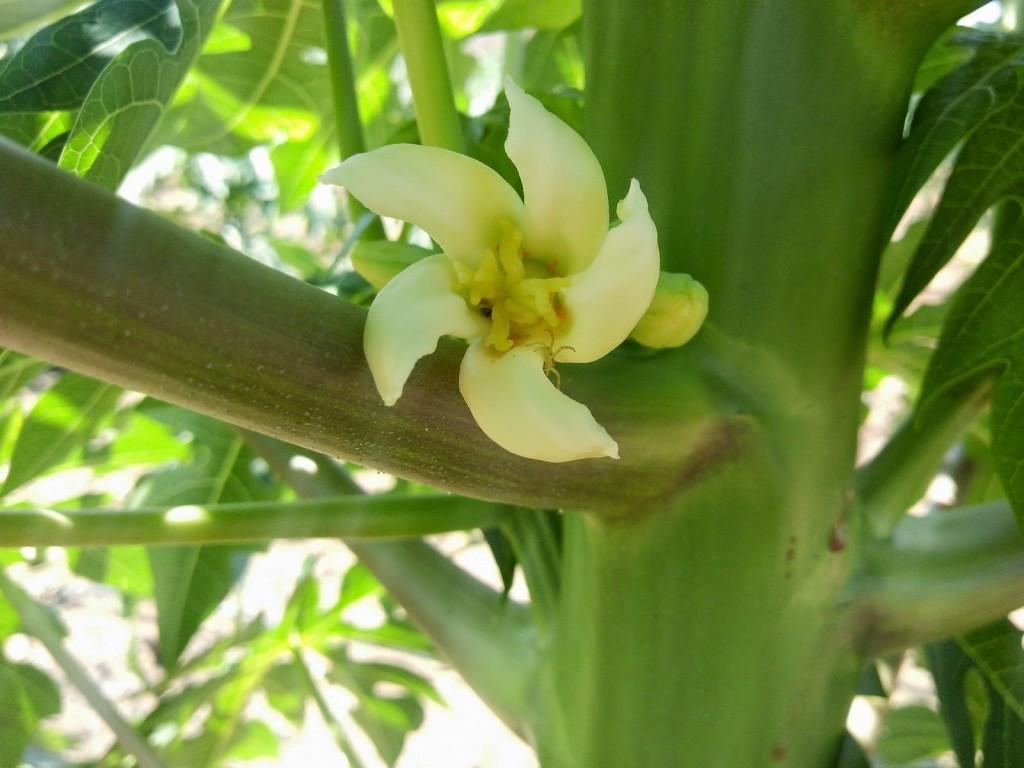 flor-mamoeiro