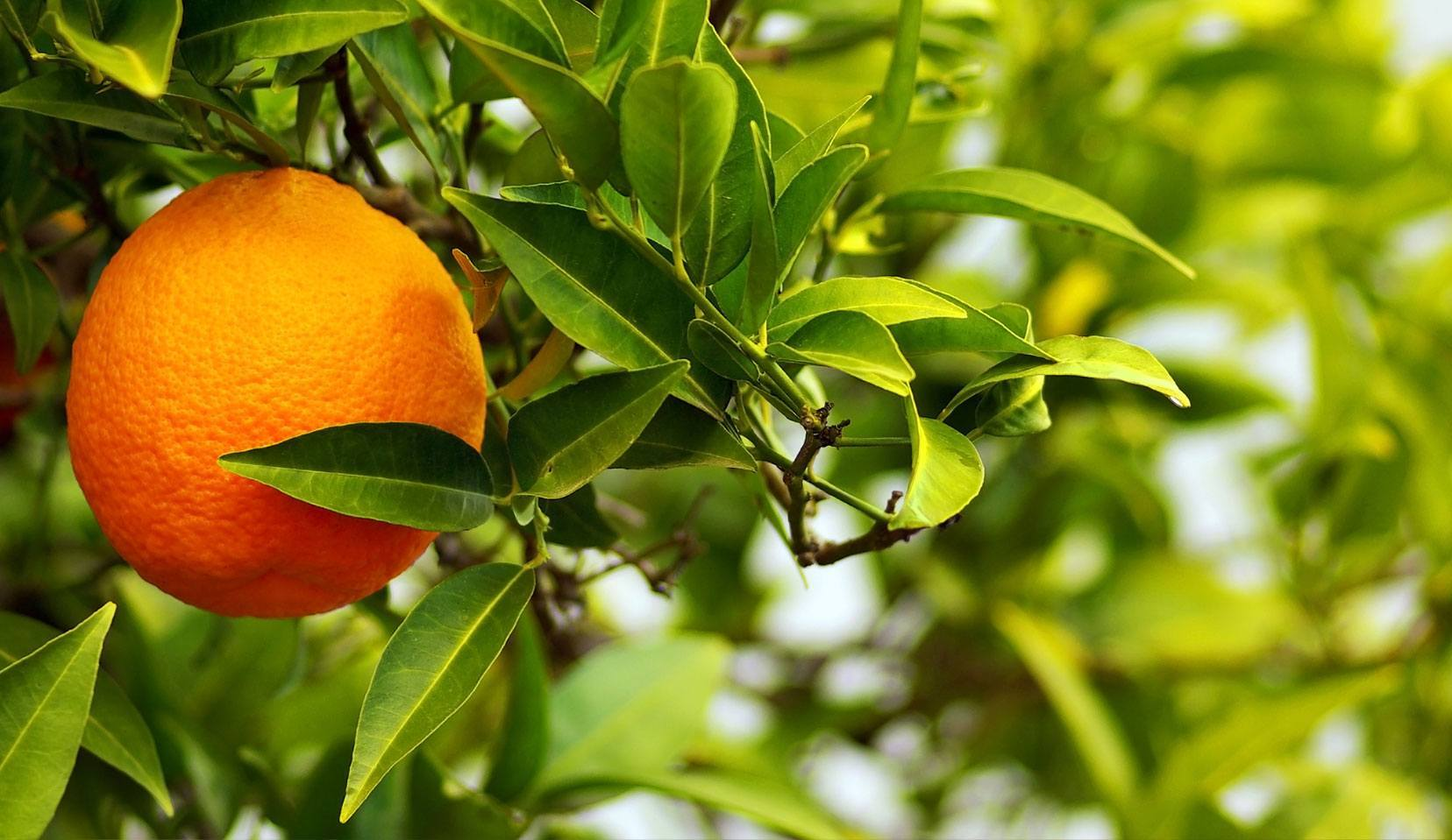 laranja-da-terra