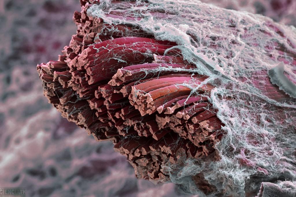 fibras-musculares