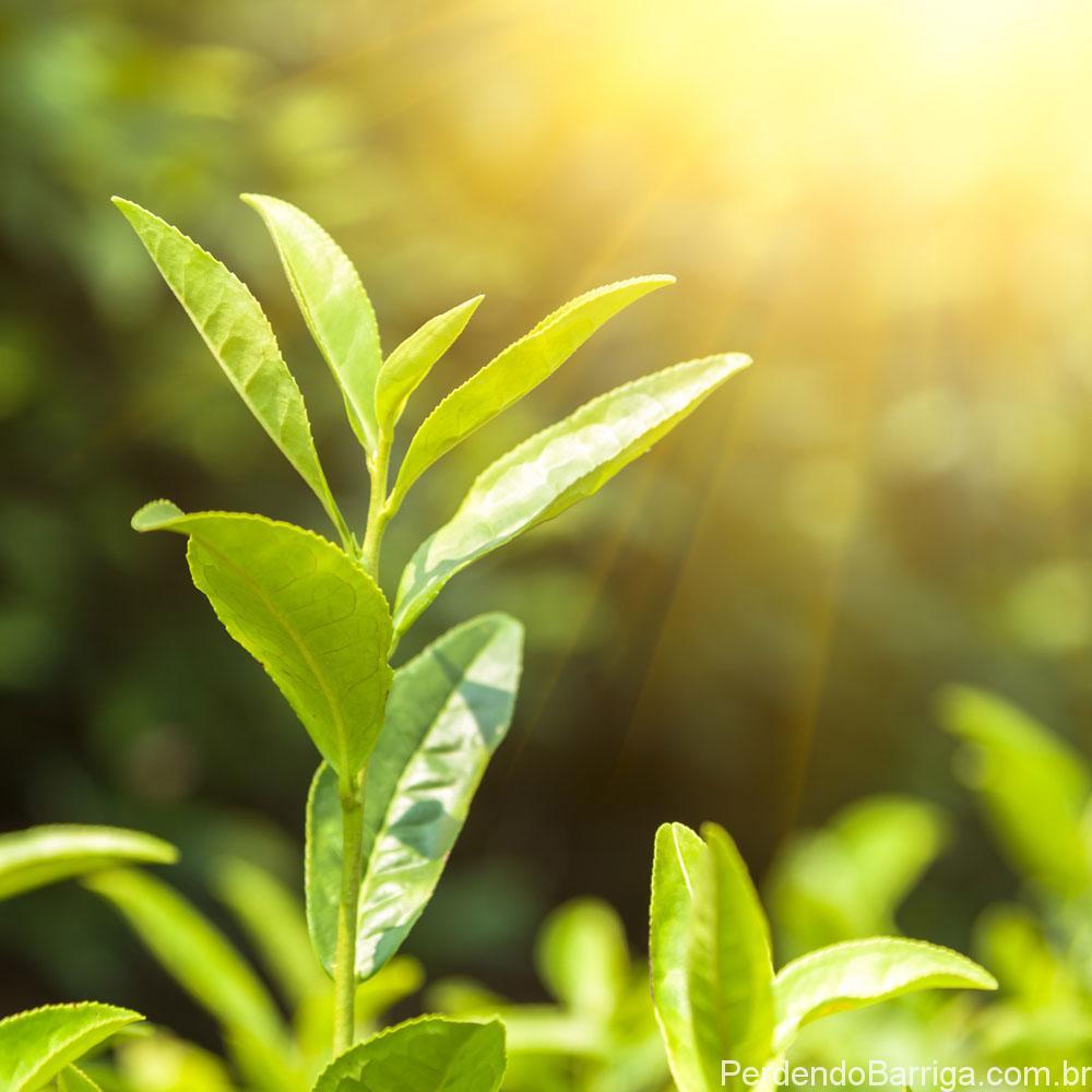 Chá Verde folha